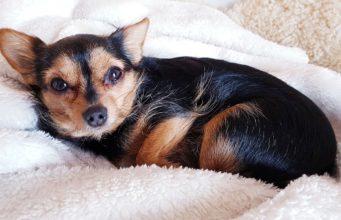 Puppy snuggling in blanket