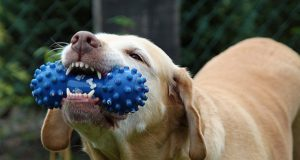 Dog chewing on a chew toy