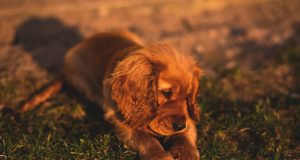 Puppy in yard at sunset