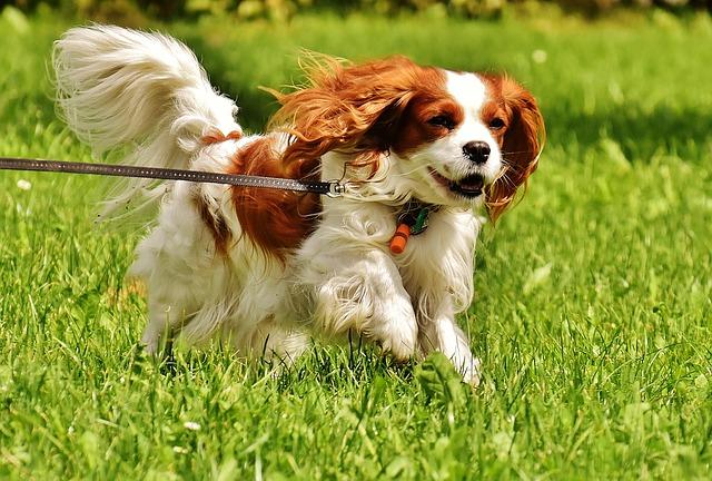 dog, cavalier king charles spaniel, funny