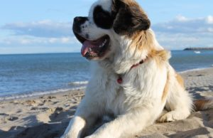 Saint Bernard on the beach