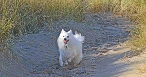 Running Japanese Spitz Dog