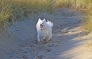 Running Japanese Spitz Dog