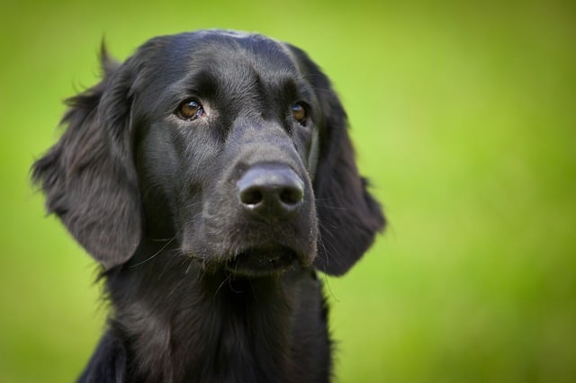 flatcoated retriever, dog, animal