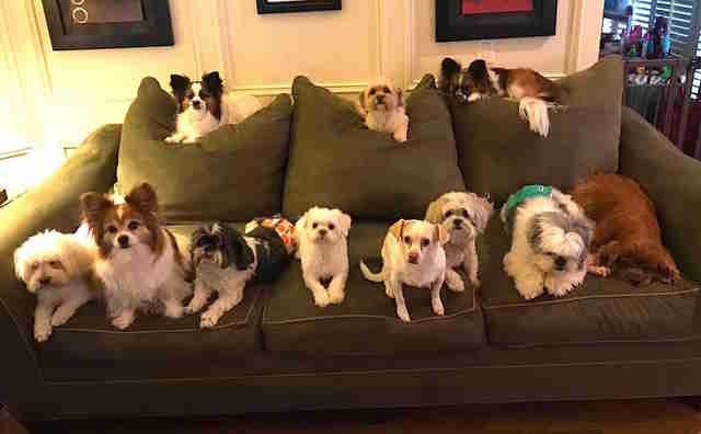 Perfect photo shows many little dogs sitting still for family portrait
