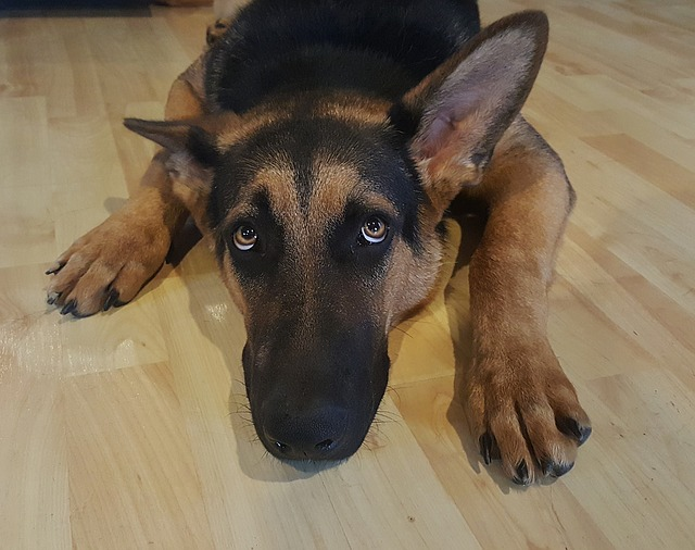 german shepherd, dog, alsatian
