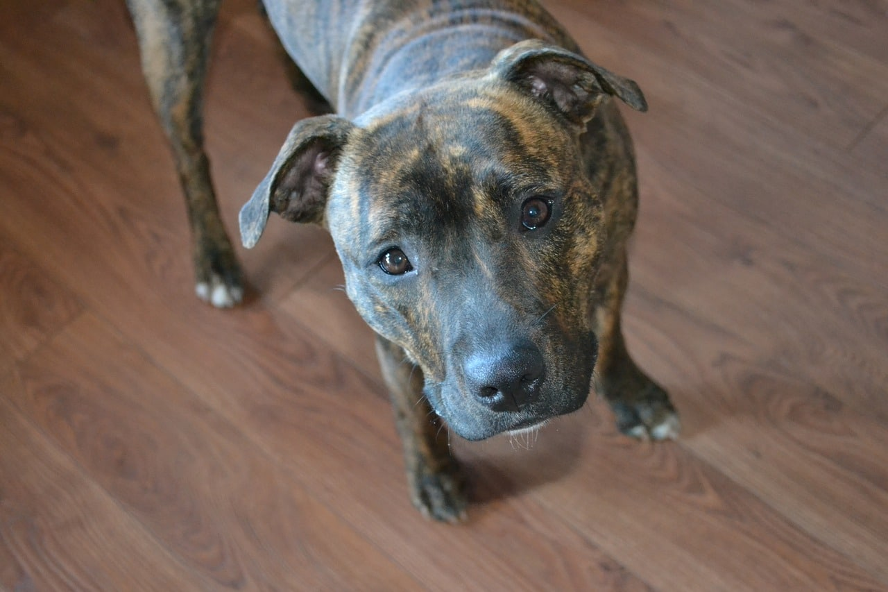 dog, cute, staffy